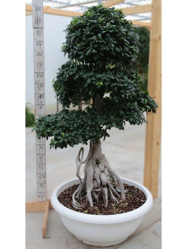Bonsai Ficus King Of Ginseng Small