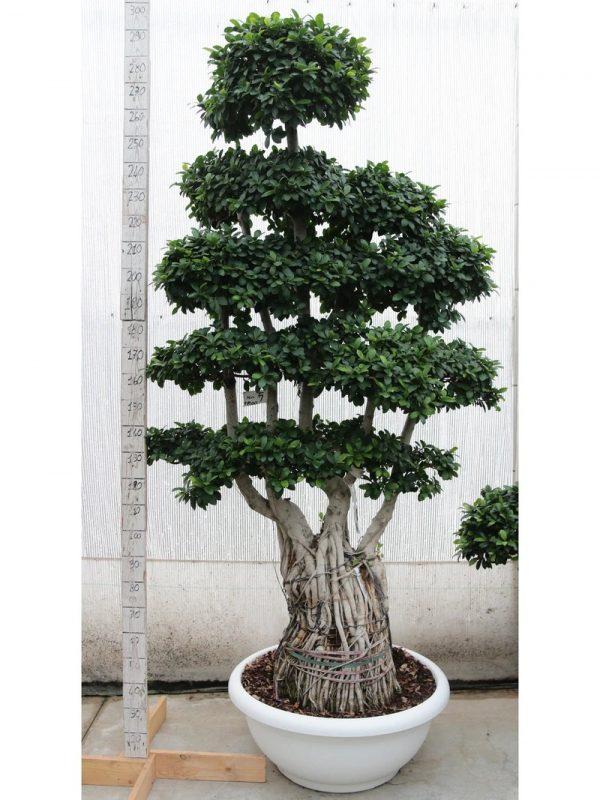 Ficus Multiroot Medium
