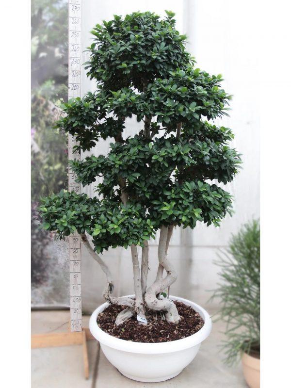 Bonsai Ficus Multi-Stem Large coltivato da CasitaHermosa