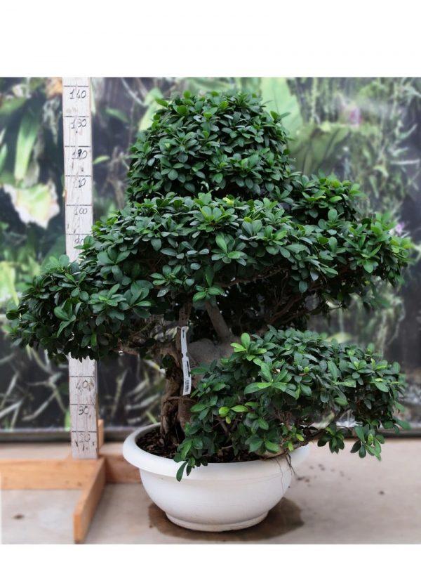 Bonsai Ficus Shima Root