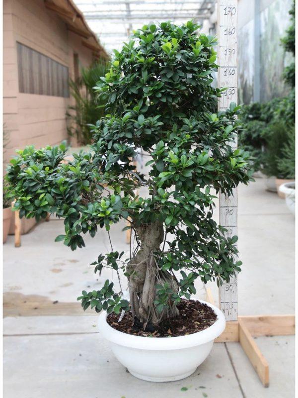 Bonsai Ficus Strong Extra