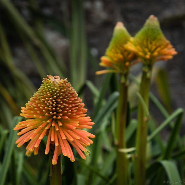 coltivazione specie tritoma rooperi