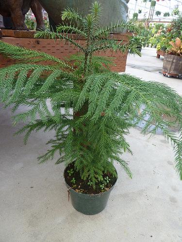Araucaria heterophylla in vaso