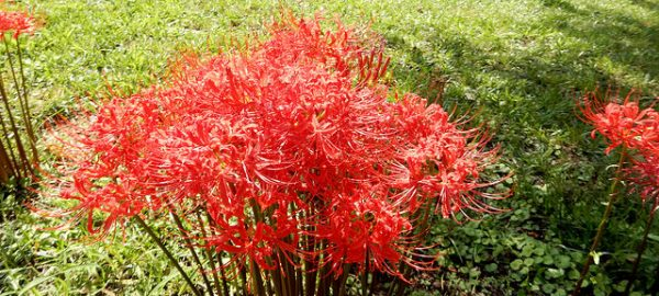 coltivazione lycoris radiata