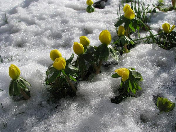 Eranthis in inverno