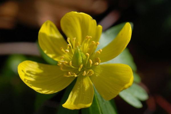 fioritura eranthis