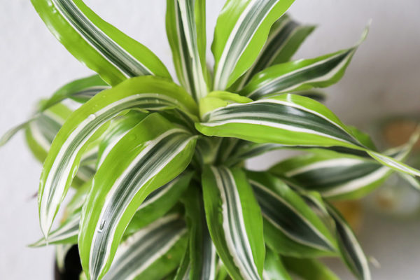 Dracena 'Lemon Lime'
