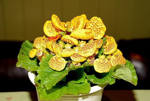 corretta esposizione calceolaria