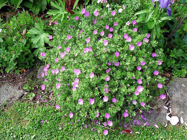 cure geranium