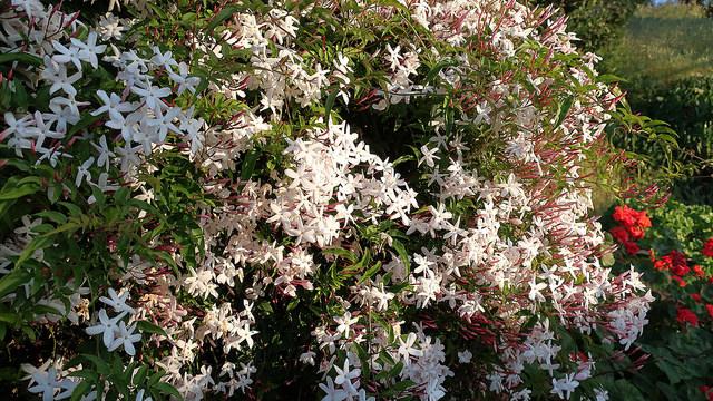 Gelsomino - Jasminum polyanthum