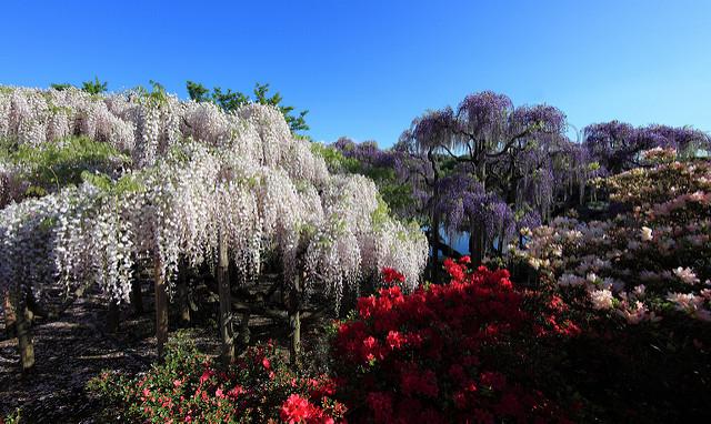 Japanese wisteria / Wisteria floribunda