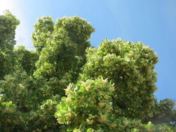 Coltivazione Tiglio selvatico (Tilia Cordata)