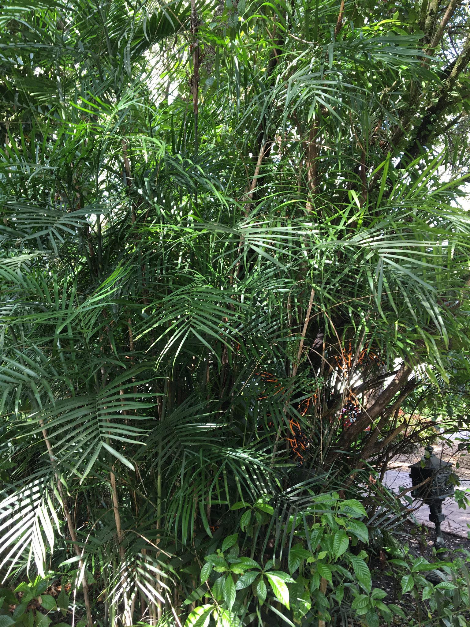Pianta Tronchetto Della Felicità Potatura palma di bambù (chamaedorea seifrizii): consigli
