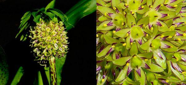 fioritura Eucomis