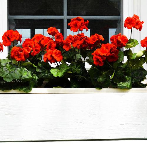 coltivazione geranium