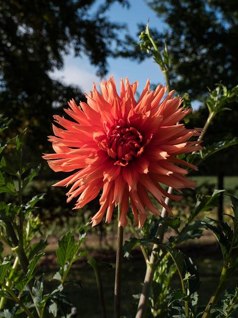 Dahlia semi-cactus 'Kabloom'