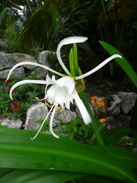 Coltivazione in giardino Hymenocallis