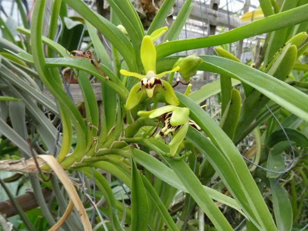 Orchidea vanda alpina