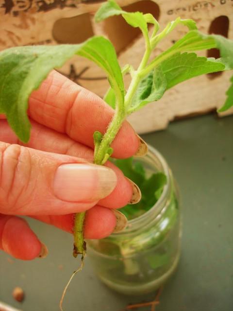 La moltiplicazione della Stevia può avvenire in due modi diversi: per seme e per talea. In entrambi i casi la  difficoltà è minima.