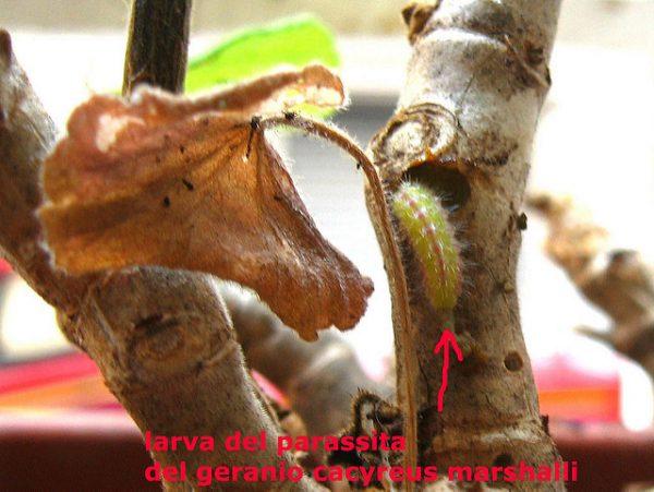 Larva farfallina dei gerani