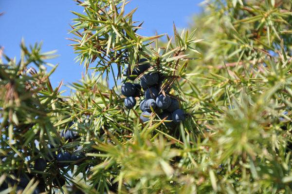 Ginepro - Juniperus bacche