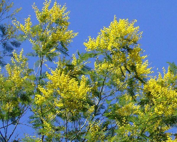 Coltivazione Mimosa (esposizione Acacia dealbata)