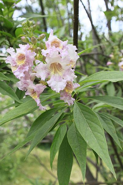 Coltivazione Chitalpa (ibrido ottenuto dalla Catalpa bignonioides)