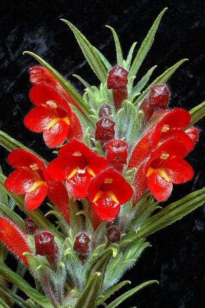 Columnea flexiflora