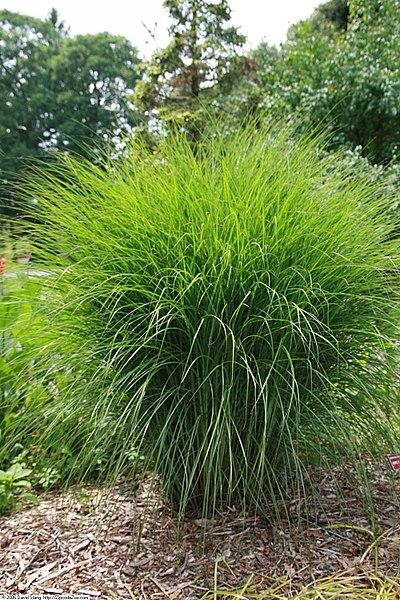 Coltivazione graminacee ornamentali: Miscanthus sinensis