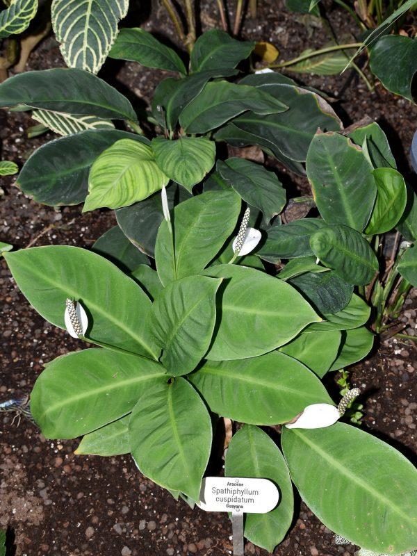 Spathiphyllum cuspidatum
