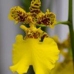 Oncidium (Orchidea ballerina)