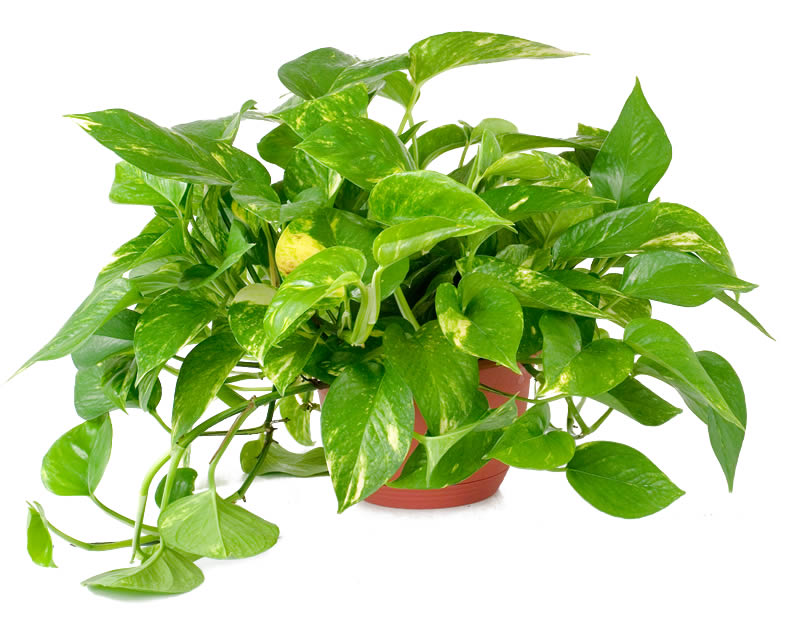 Potos o pothos epipremnum consigli coltivazione e cura for Ocra pianta