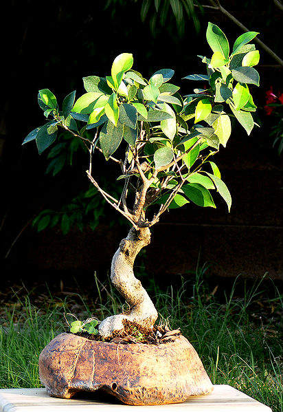 Penjing Ficus