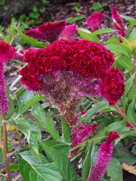 varietà celosia argentea cristata