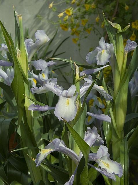 coltivazione iris aucheri