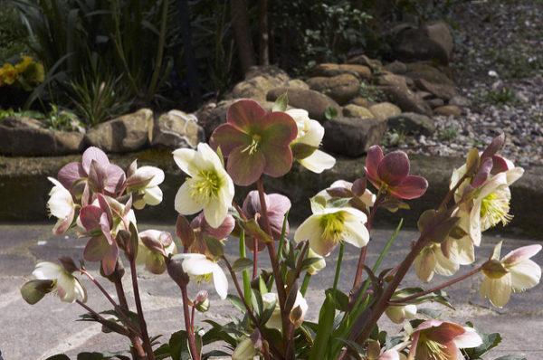 Coltivazione in giardino Rosa di Natale (Elleboro)
