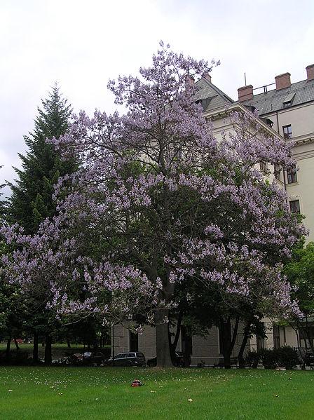 coltivazione Paulownia tomentosa