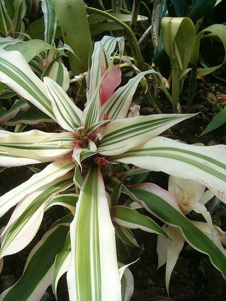 coltivazione cryptanthus bromelioides