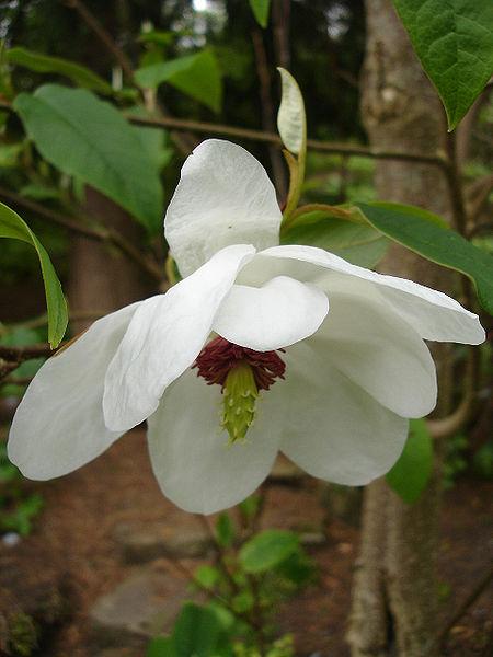 Magnolia_wilsonii