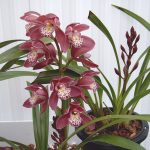 Cymbidium (Cimbidio) Orchidea