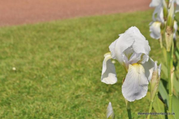 Iris germanica var. florentina