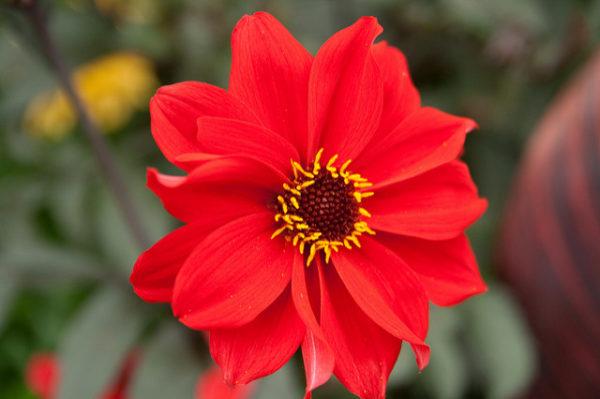 Dalia a fiore di Peonia 'Bishop of Llandaff