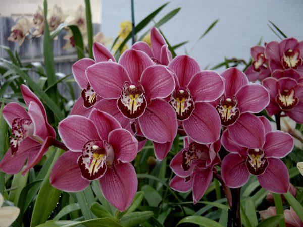 cimbidio fioritura