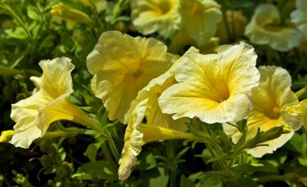 Surfinia varietà gialla