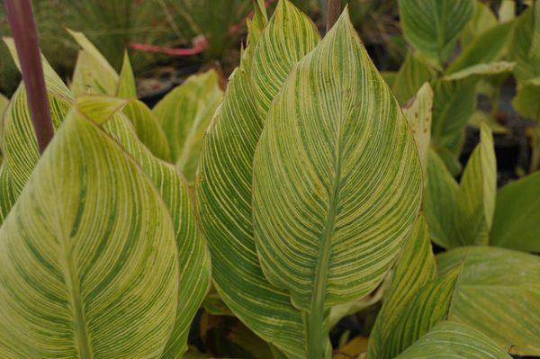 foglie canna