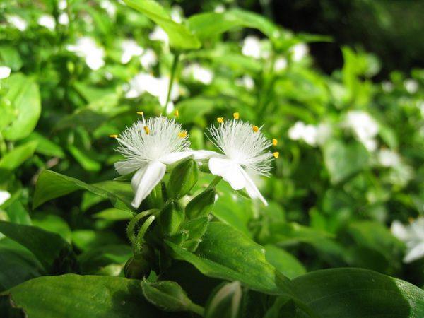 Tradescantia fluminensis (erba miseria)