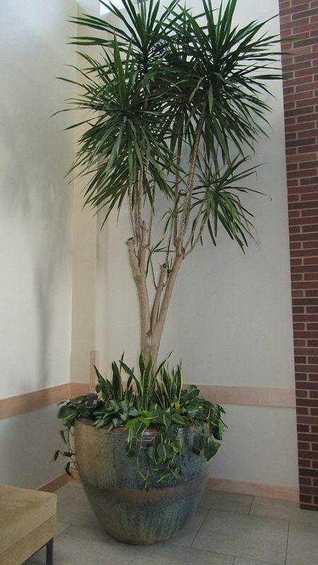 Dracaena marginata 'Tarzan'