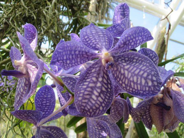 Vanda (Orchidea)
