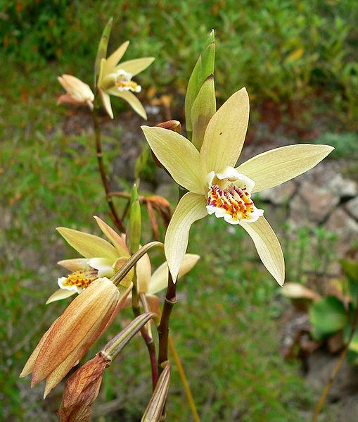 Orchidea Bletilla fiori gialli