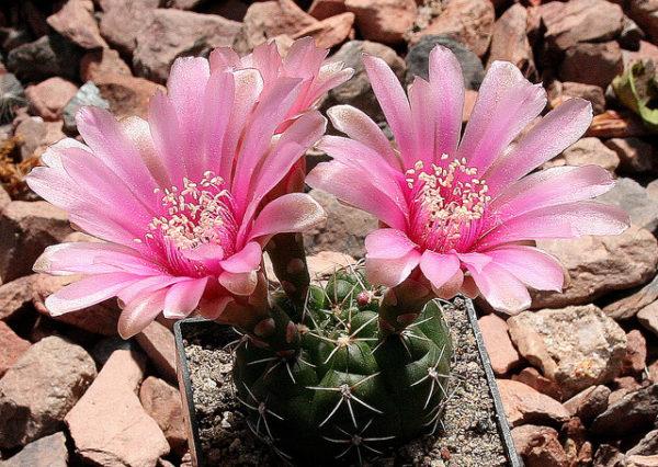 cactus gymnocalycium denudatum rosa